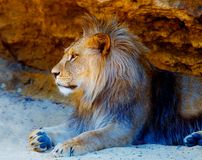 Beautiful Lion resting in the sunshine. rock background. Beautiful Lion resting in the sunshine. rock background Stock Image