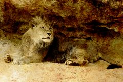 Beautiful Lion resting in the sunshine. sepia effect. Beautiful Lion resting in the sunshine. sepia effect Royalty Free Stock Image
