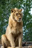 Beautiful lion in safari park Royalty Free Stock Images