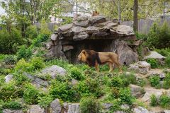 Beautiful lion on the stone mountain with a grass.  stock photography