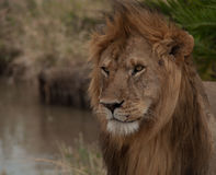 Beautiful lion Royalty Free Stock Photo