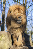 Beautiful lion Royalty Free Stock Photos