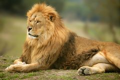 Beautiful Lion wild male animal portrait. King of jungle Royalty Free Stock Photo