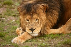 Beautiful Lion wild male animal portrait Royalty Free Stock Image