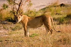 Beautiful lioness. Lioness checking out the surroundings Royalty Free Stock Images