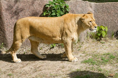 Free Beautiful Lioness Stock Image - 32737161