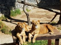 Beautiful lioness Royalty Free Stock Image