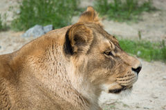 Beautiful lioness Stock Photo