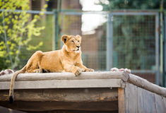 Beautiful lioness Royalty Free Stock Images