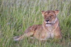 Beautiful lioness resting at the masai mara Royalty Free Stock Photos