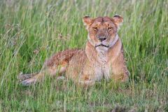Beautiful lioness resting at the masai mara Stock Photo