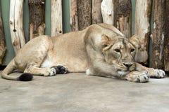 Beautiful lioness Stock Photo