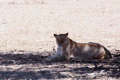 Beautiful lioness in shade, Kalahari Royalty Free Stock Image