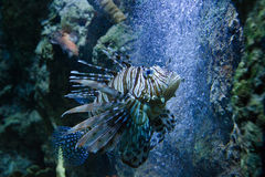 Beautiful lionfish stock photography