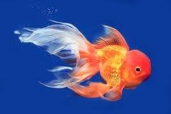 Beautiful Lionhead goldfish. Swimming in the aquarium stock photos