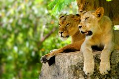 Beautiful lions Royalty Free Stock Images