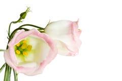 Beautiful lisianthus flowers Stock Photos