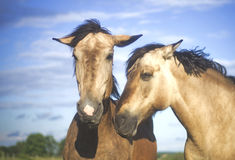 Beautiful lithuanian breed horses Stock Image