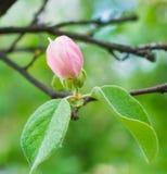 Beautiful little apple tree flower closeup. Beautiful little blossoming apple tree flower closeup Stock Photo