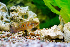 Beautiful little aquarium fish Stock Photography