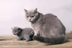 Mother cat taking care of her baby Royalty Free Stock Photo