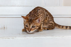 Beautiful little Bengal kitten royalty free stock images