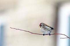 Beautiful little bird on a branch. With a red point on a head Stock Photos