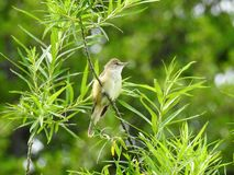 Beautiful little bird on green branch , Lithuania Stock Images