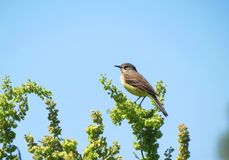 Beautiful little bird on green plant, Lithuania Stock Photography