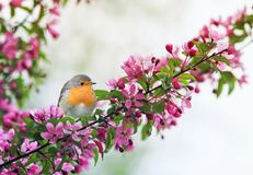 little bird Robin sitting on a branch of a flowering pink Apple tree in the spring garden of may stock image