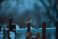 Beautiful little bird of sparrow in the winter on blue backgroun Stock Photo