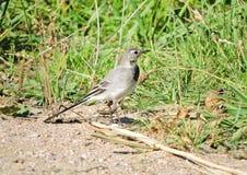 Little  bird walking on green grass, Lithuania Royalty Free Stock Photo