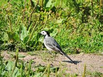 Little  wagtail bird walking on green grass, Lithuania Royalty Free Stock Images
