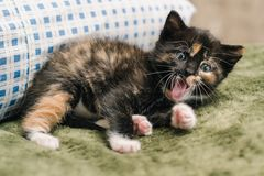 Beautiful little black kitten with red and white spots is lying on the pillow and yawning stock images