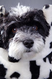 Beautiful little black and white dog Royalty Free Stock Photos