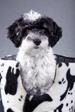 Beautiful little black and white dog Stock Photography