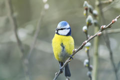 Beautiful little blue tit bird singing a song on a fluffy willow. In early spring in the Park Stock Photo
