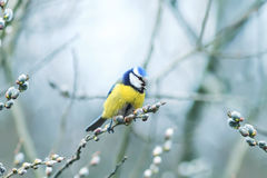 Beautiful little blue tit bird singing a song on a fluffy willow. In early spring in the Park Royalty Free Stock Photography