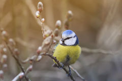 Beautiful little blue tit bird singing a song on a fluffy willow Royalty Free Stock Photography