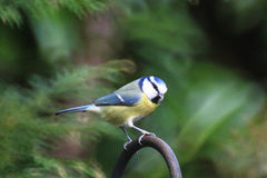 Beautiful little bluetit sitting. Bluetit is sitting and watching the other birds eating Stock Photo