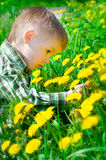 Beautiful little boy surrounded by dandelions. Chooses a flower Stock Photos