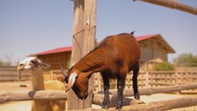 Beautiful little brown goat on the farm looks in Meru, pets, cute red goat