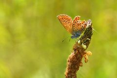 Beautiful little butterfly Common Blue (Polyommatus icarus). Macro shot of nature close up. Stock Image