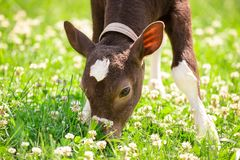 Beautiful little calf in green grass royalty free stock photo