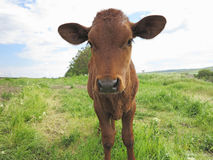 Beautiful little calf on the green sunny meadow Stock Image