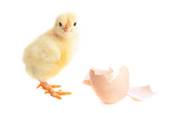 Free Beautiful Little Chick And Eggshell Royalty Free Stock Photos - 68089568