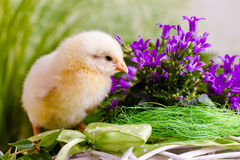 Beautiful little chicken. With flowers Royalty Free Stock Photo