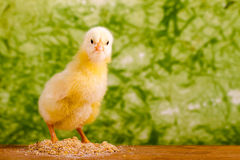Beautiful little chicken Royalty Free Stock Images