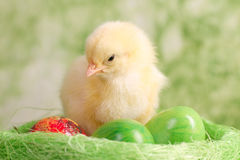 Beautiful little chickens. Beautiful little chicken with eggs Royalty Free Stock Photography
