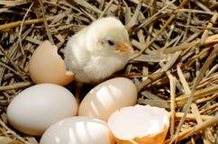 Beautiful little chicken, Stock Photo